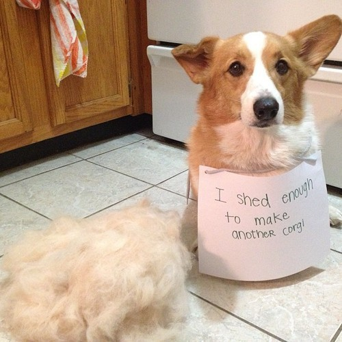 corgi-shedding-e1405769530776